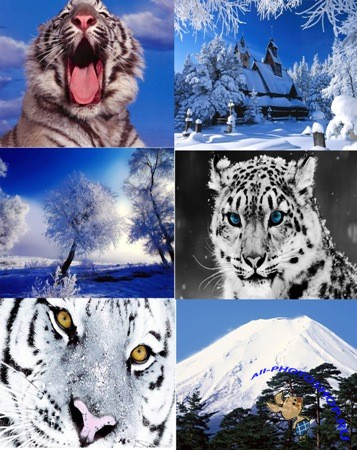 Обои - WINTER WHITE TIGER