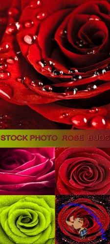 Stock Photo - Rose Buds