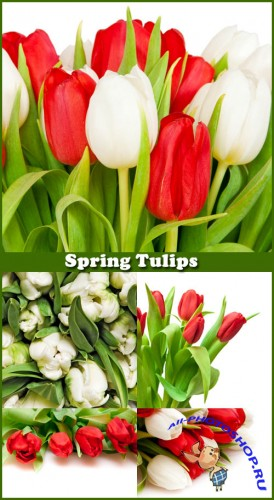 Spring Tulips - Stock Photos