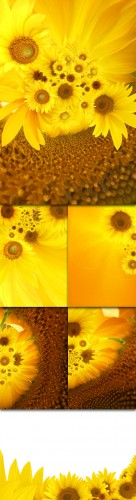 Sunflowers Photo Cliparts