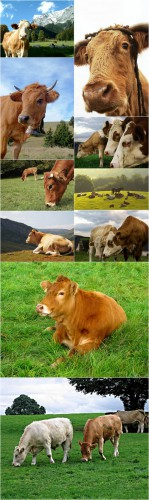 Photo Cliparts - Cow
