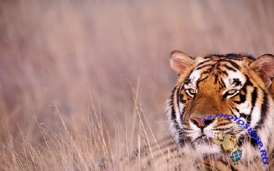 53 Beautiful Big Cats Wallpapers