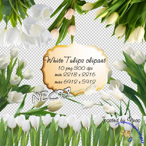 White Tulips clipart