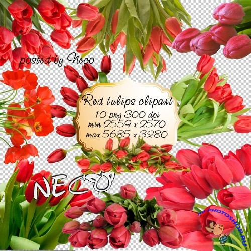 Red Tulips clipart - ������� ������� �������� PNG