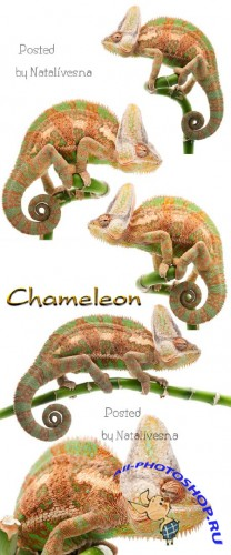 Хамелеон / Chameleon - Stock photo